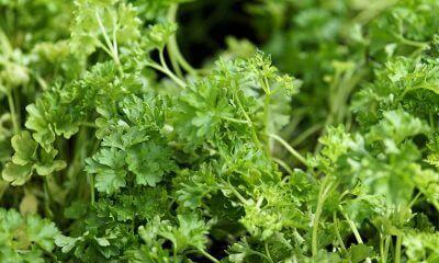 böbrek hastalığına iyi gelen bitkiler